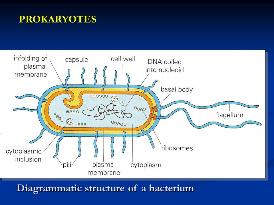 PROKARYOTES Diagrammatic structure of a bacterium