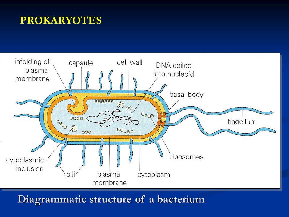 PROKARYOTES Diagrammatic structure of a bacterium