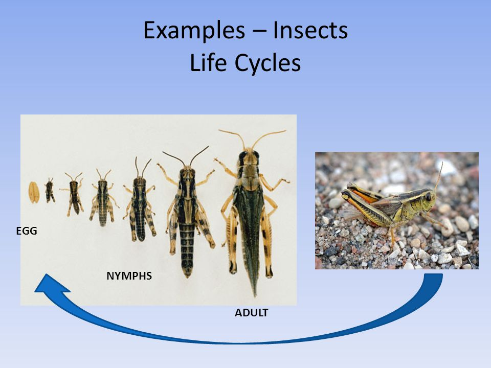 Examples – Insects Life Cycles