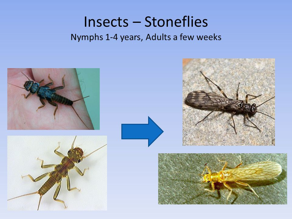 Insects – Stoneflies Nymphs 1-4 years, Adults a few weeks