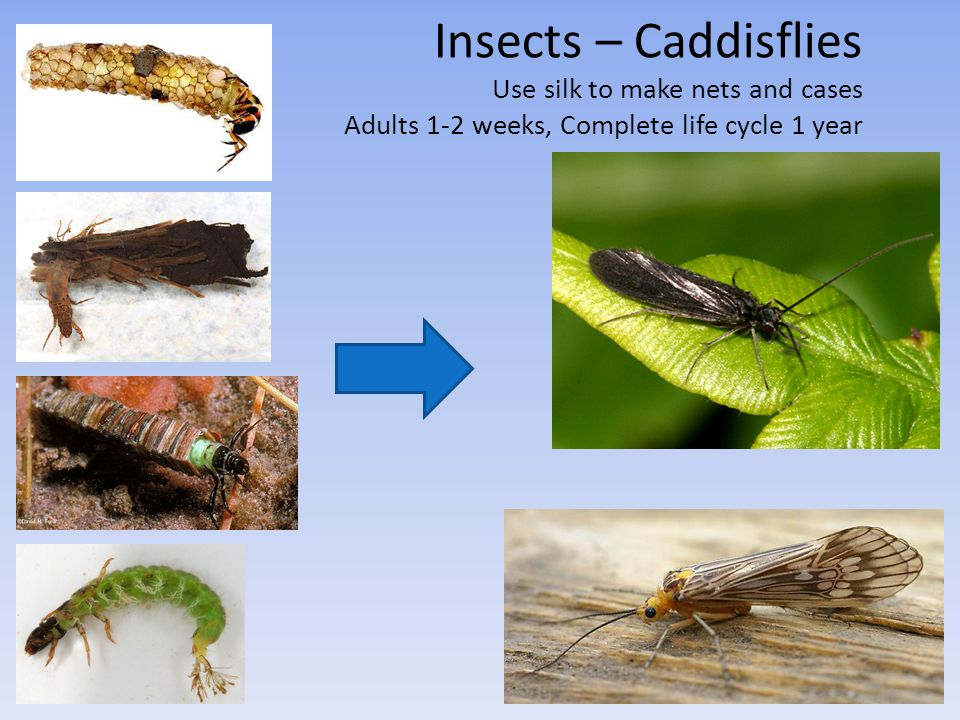 Insects – Caddisflies Use silk to make nets and cases Adults 1-2 weeks, Complete life cycle 1 year