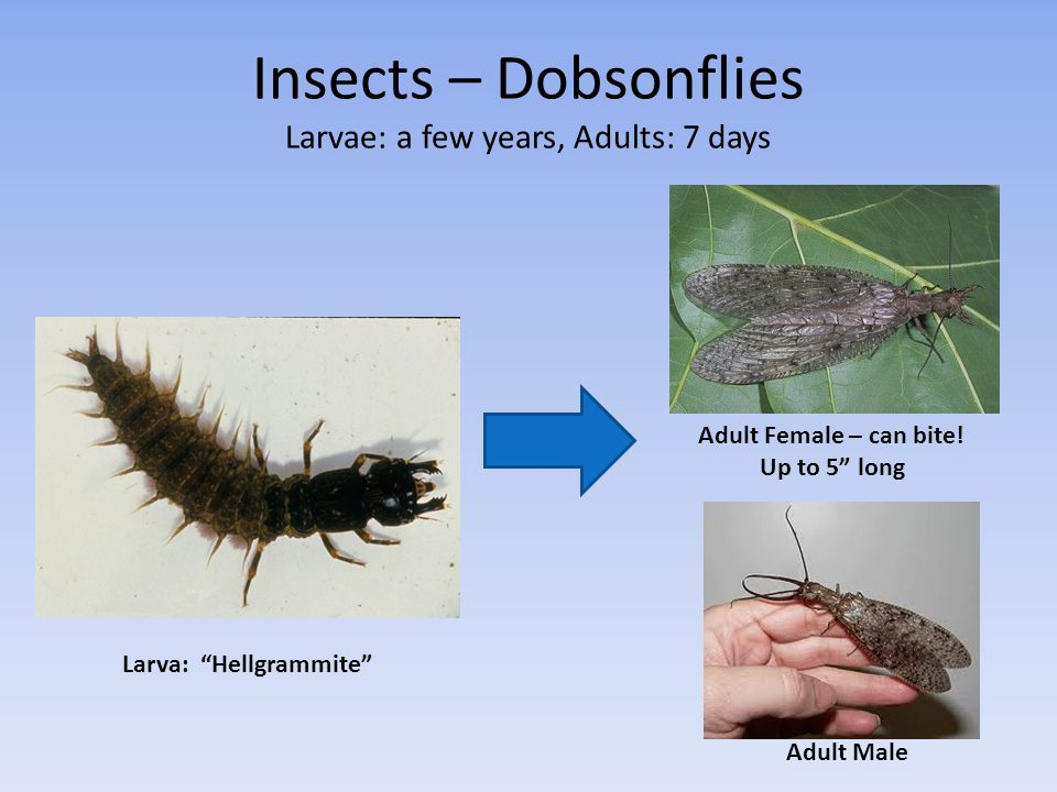Insects – Dobsonflies Larvae: a few years, Adults: 7 days