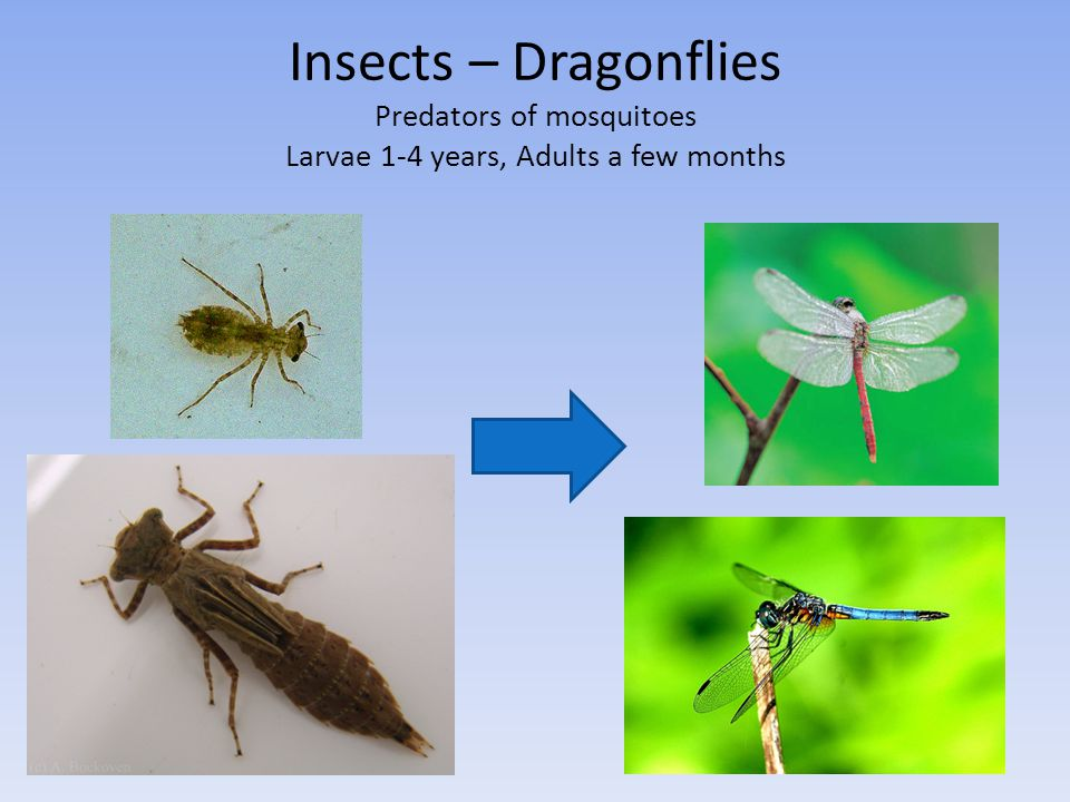 Insects – Dragonflies Predators of mosquitoes Larvae 1-4 years, Adults a few months