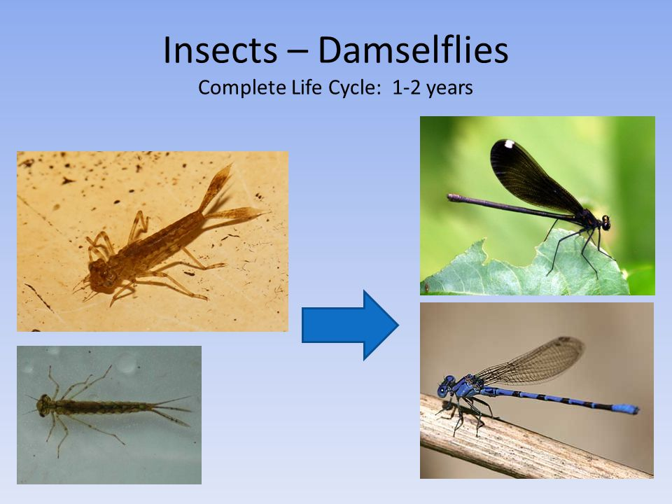 Insects – Damselflies Complete Life Cycle: 1-2 years