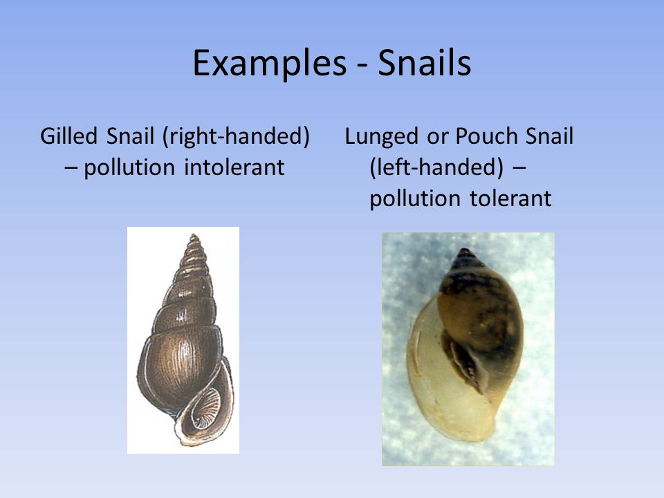 Examples - Snails Gilled Snail (right-handed) – pollution intolerant