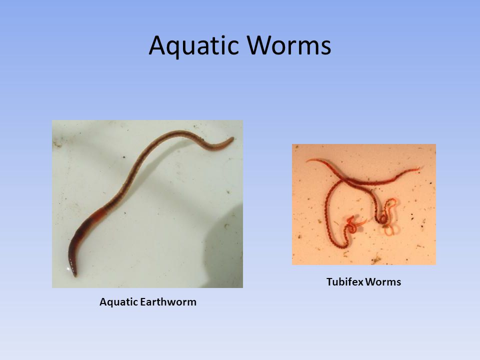 Aquatic Worms Tubifex Worms Aquatic Earthworm