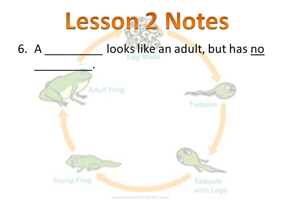 Lesson 2 Notes A _________ looks like an adult, but has no _________.
