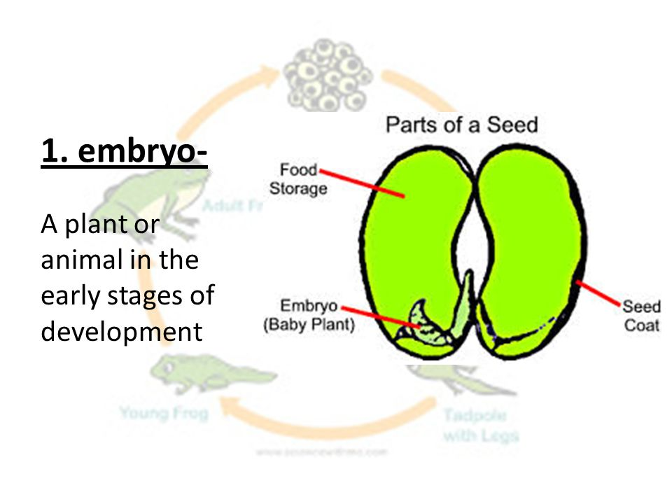 1. embryo- A plant or animal in the early stages of development