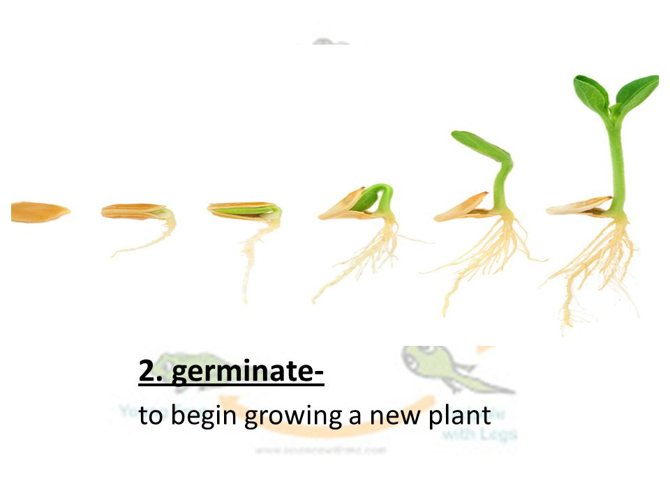 2. germinate- to begin growing a new plant