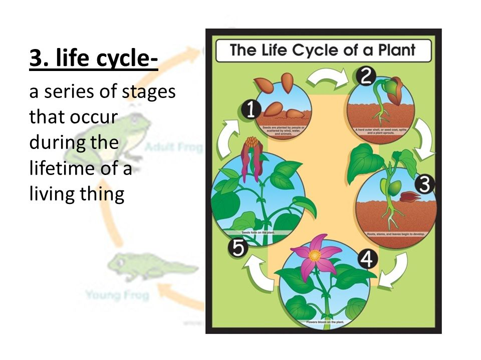 3. life cycle- a series of stages that occur during the lifetime of a living thing