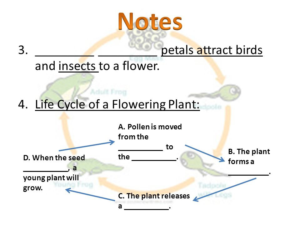 Notes _________ _________ petals attract birds and insects to a flower. Life Cycle of a Flowering Plant:
