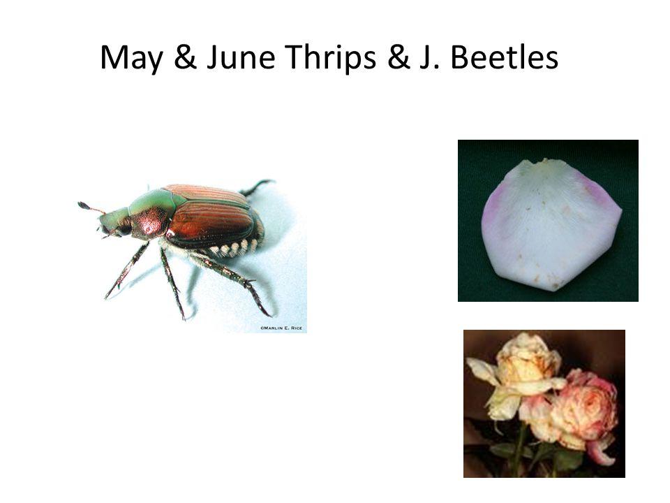 May & June Thrips & J. Beetles