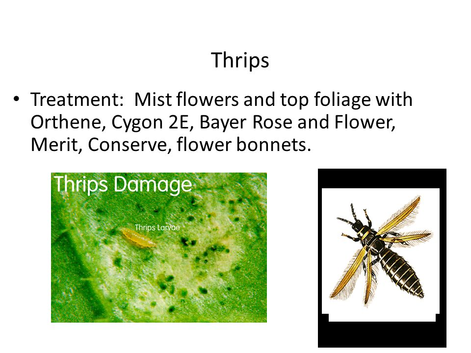 Thrips Treatment: Mist flowers and top foliage with Orthene, Cygon 2E, Bayer Rose and Flower, Merit, Conserve, flower bonnets.
