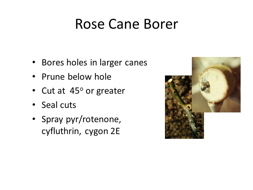 Rose Cane Borer Bores holes in larger canes Prune below hole