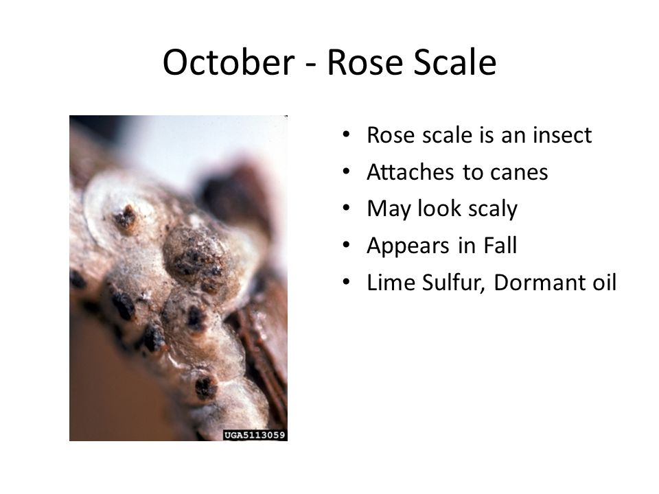 October - Rose Scale Rose scale is an insect Attaches to canes