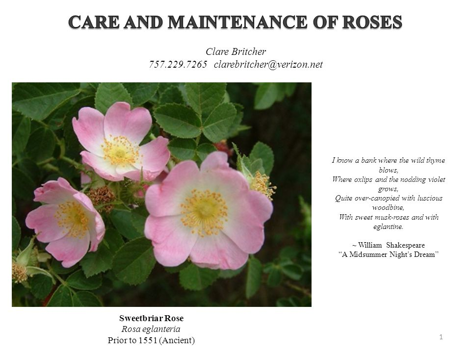 CARE AND MAINTENANCE OF ROSES
