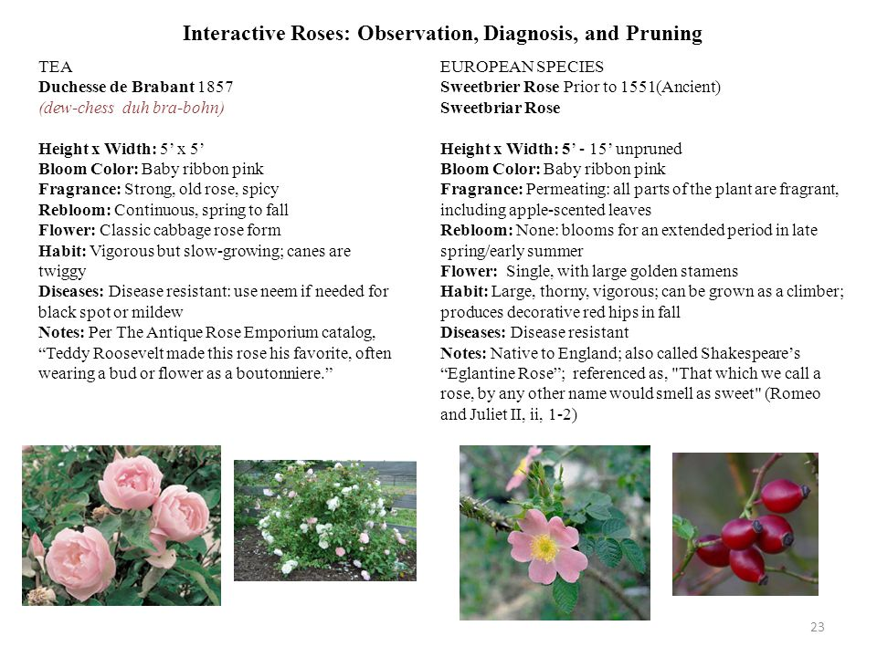 Interactive Roses: Observation, Diagnosis, and Pruning