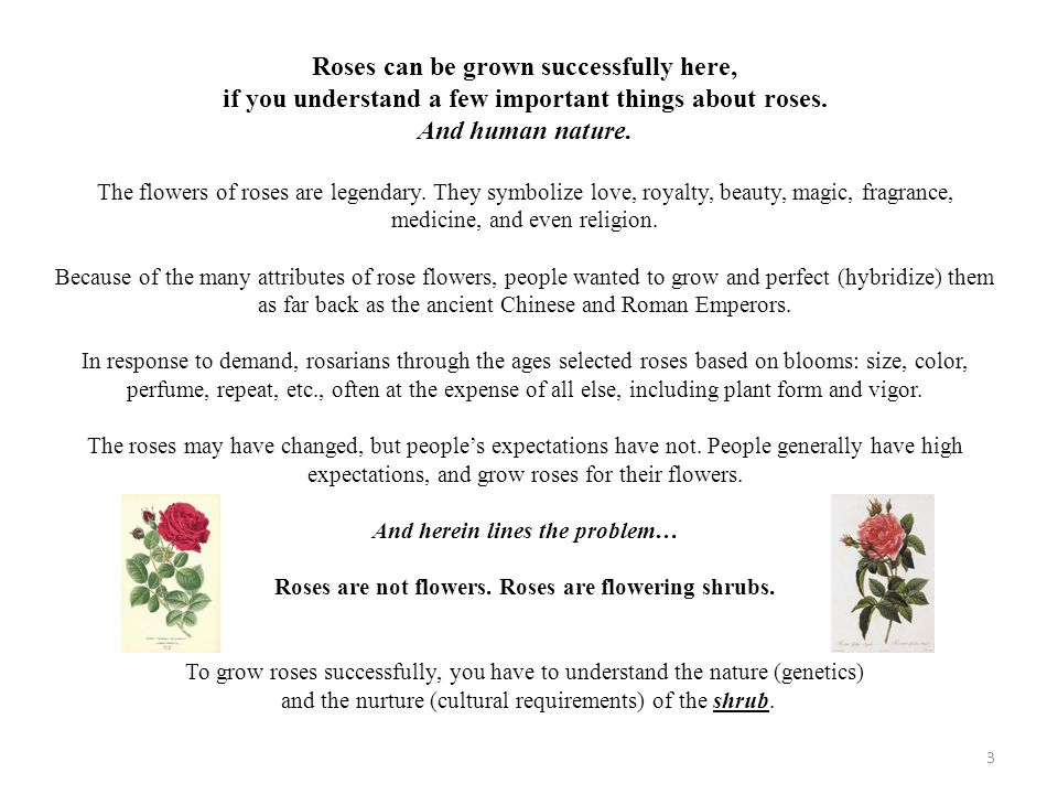 Roses can be grown successfully here,
