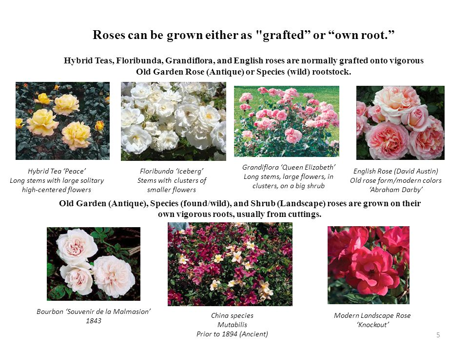 Roses can be grown either as grafted or own root.