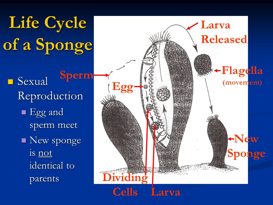 Life Cycle of a Sponge Larva Released Sexual Reproduction