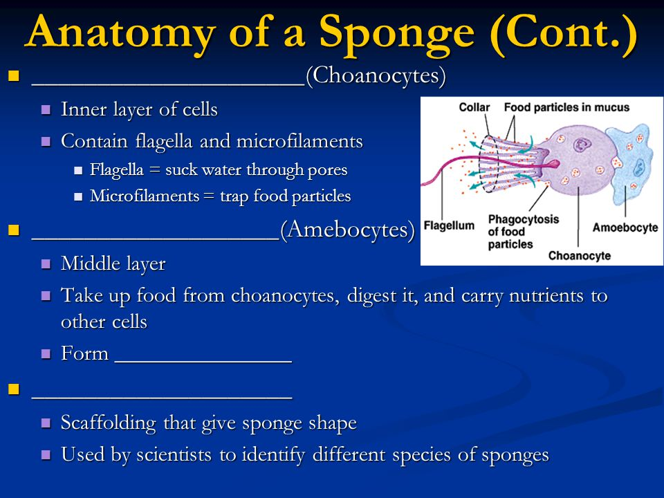 Anatomy of a Sponge (Cont.)