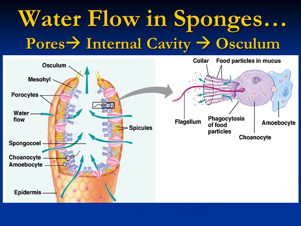 Water Flow in Sponges… Pores Internal Cavity  Osculum