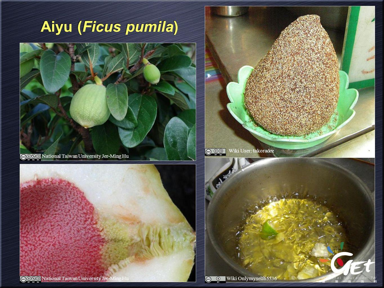 Aiyu (Ficus pumila) Wiki User: takoradee