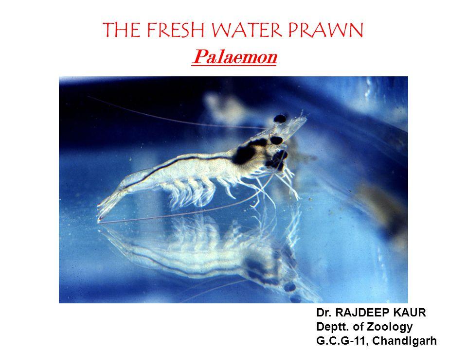 THE FRESH WATER PRAWN Palaemon