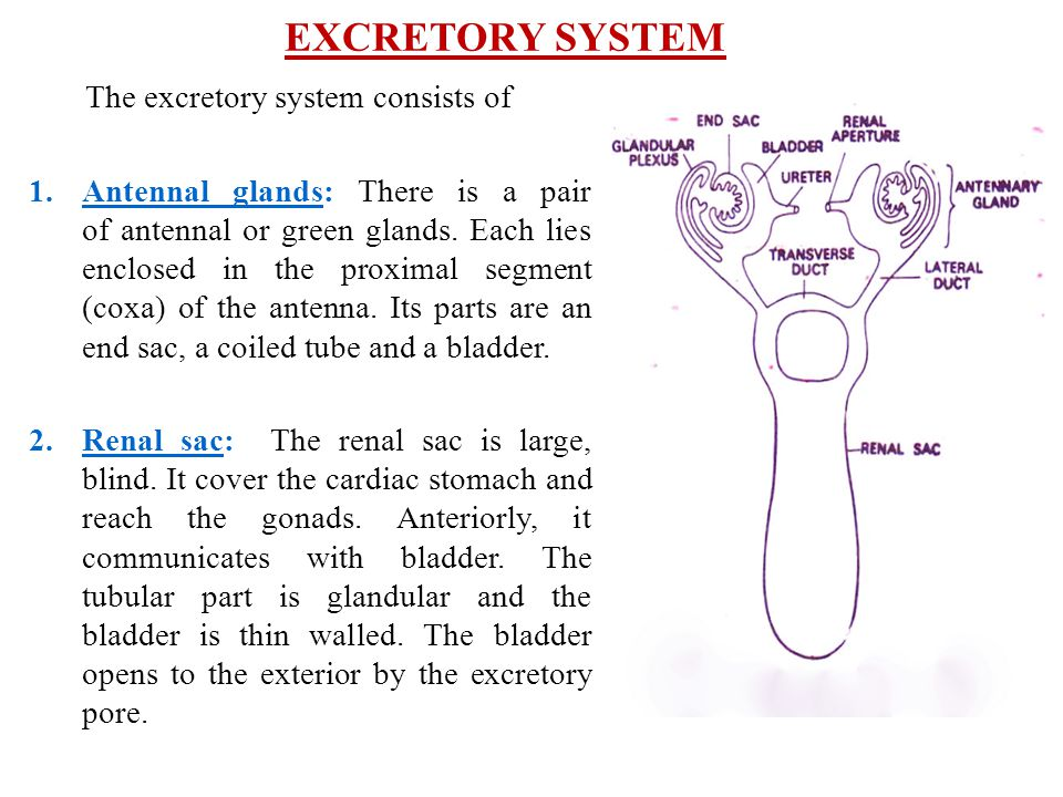 EXCRETORY SYSTEM The excretory system consists of