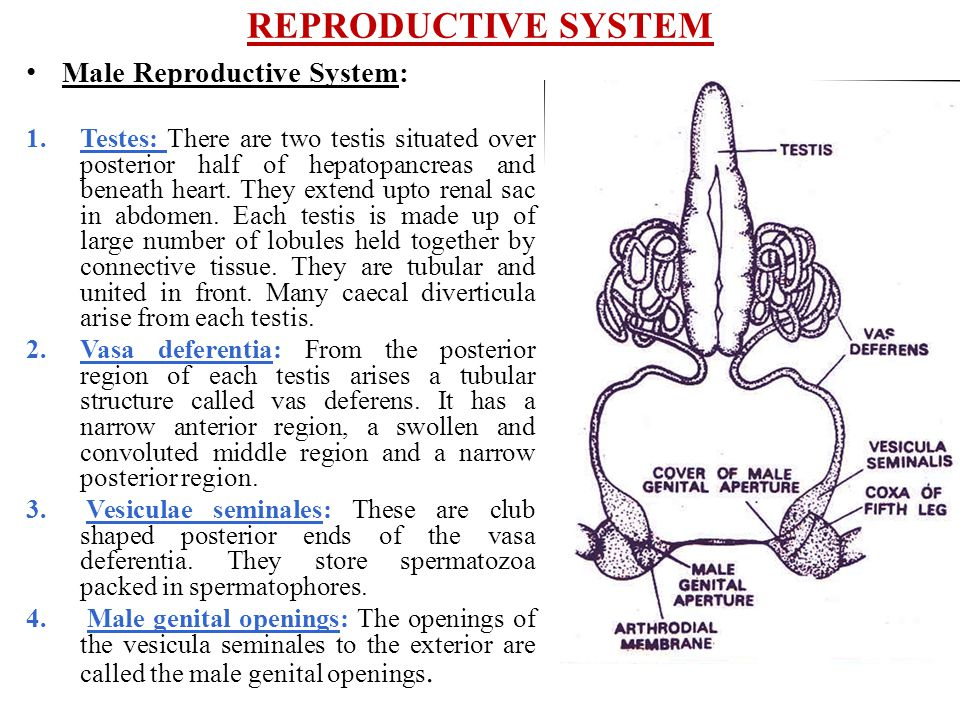 REPRODUCTIVE SYSTEM Male Reproductive System: