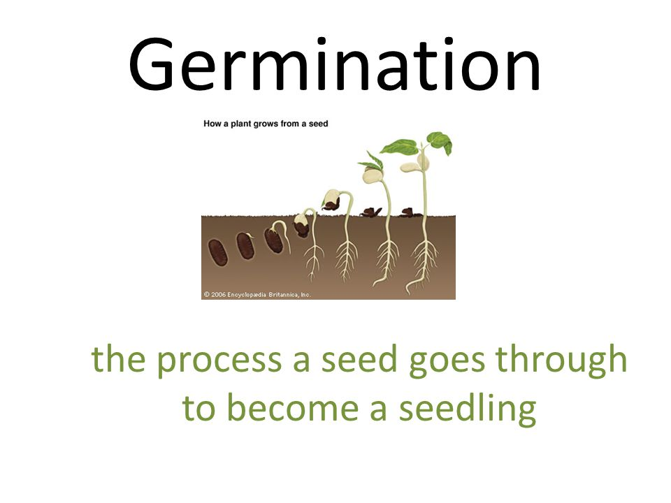 the process a seed goes through
