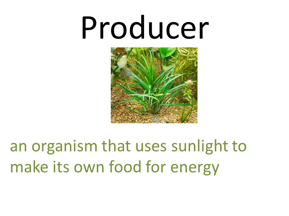 Producer an organism that uses sunlight to make its own food for energy