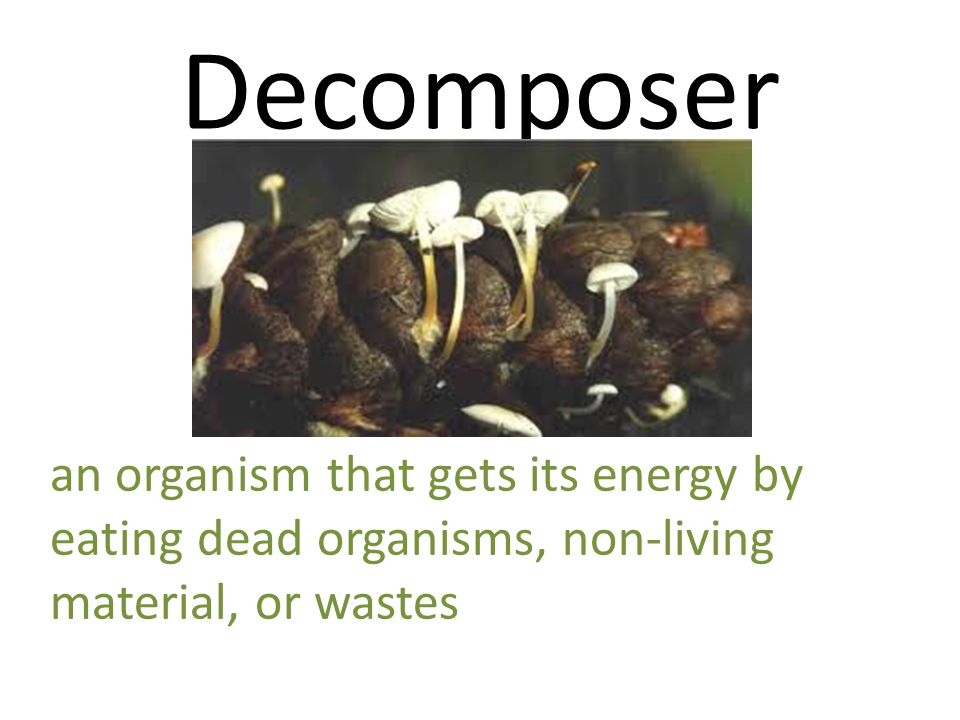 Decomposer an organism that gets its energy by eating dead organisms, non-living material, or wastes.