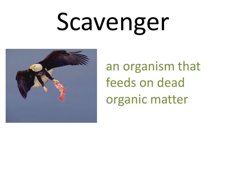Scavenger an organism that feeds on dead organic matter