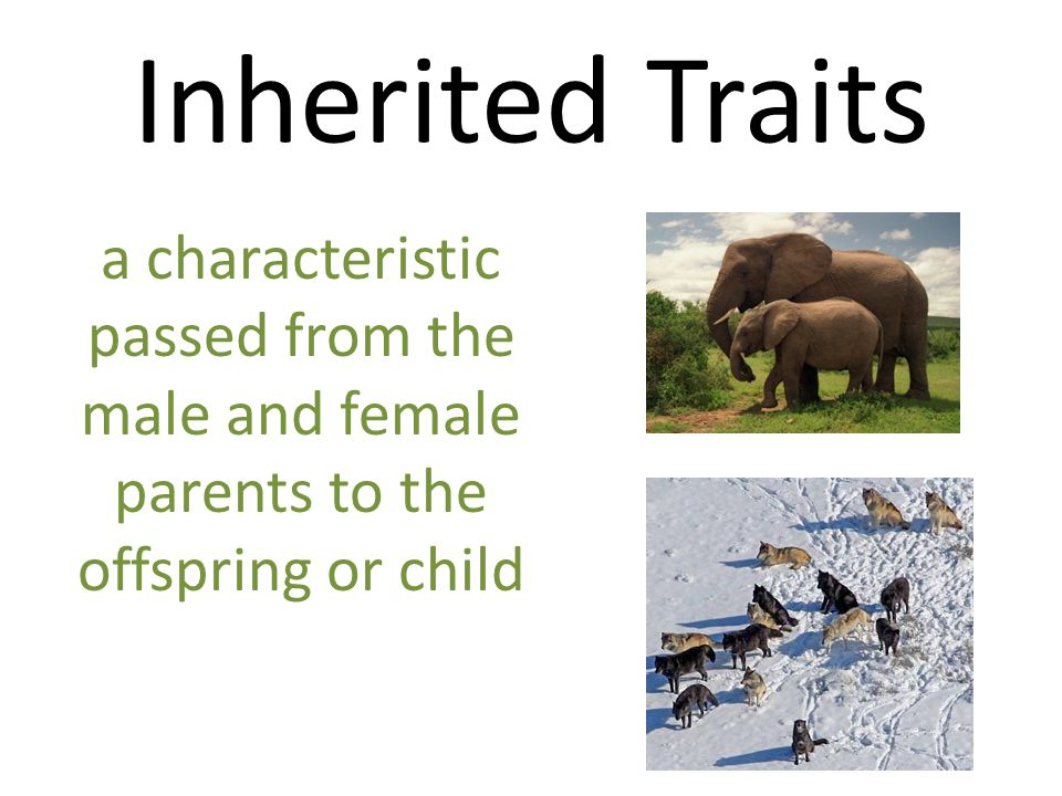 Inherited Traits a characteristic passed from the male and female parents to the offspring or child