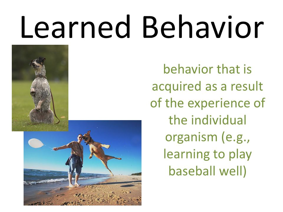 Learned Behavior behavior that is acquired as a result of the experience of the individual organism (e.g., learning to play baseball well)