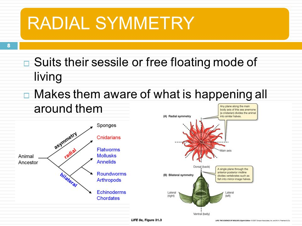RADIAL SYMMETRY Suits their sessile or free floating mode of living