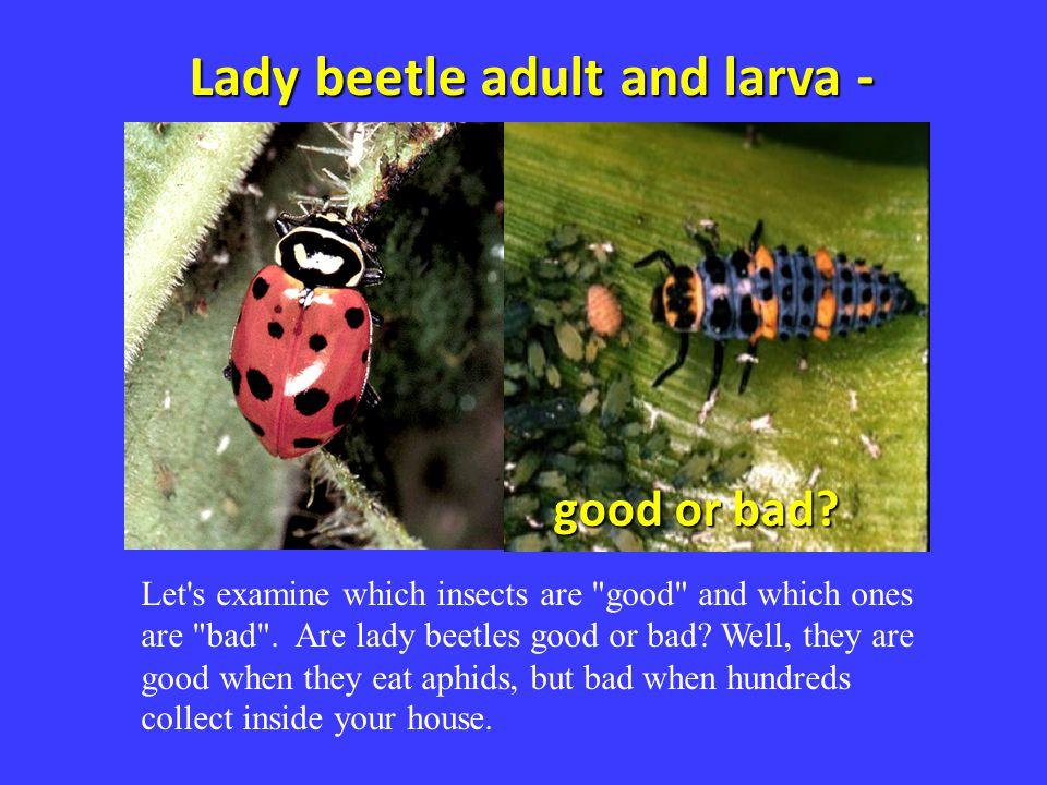 Lady beetle adult and larva -