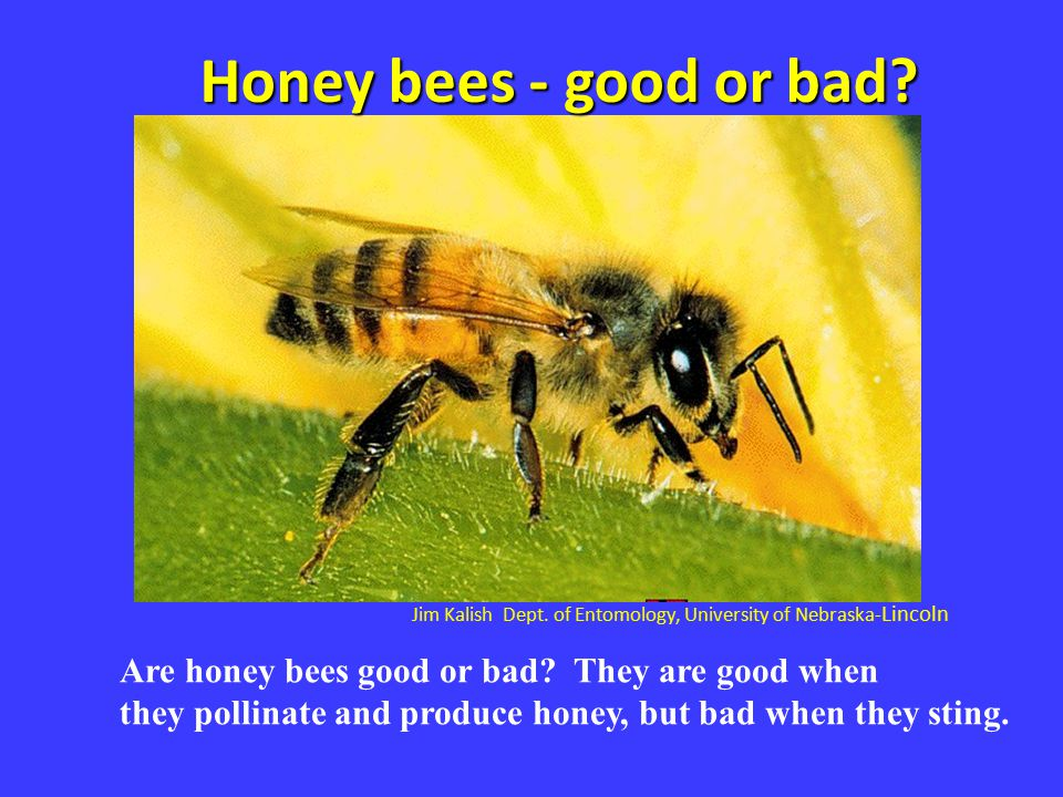 Honey bees - good or bad Jim Kalish Dept. of Entomology, University of Nebraska-Lincoln. Are honey bees good or bad They are good when.