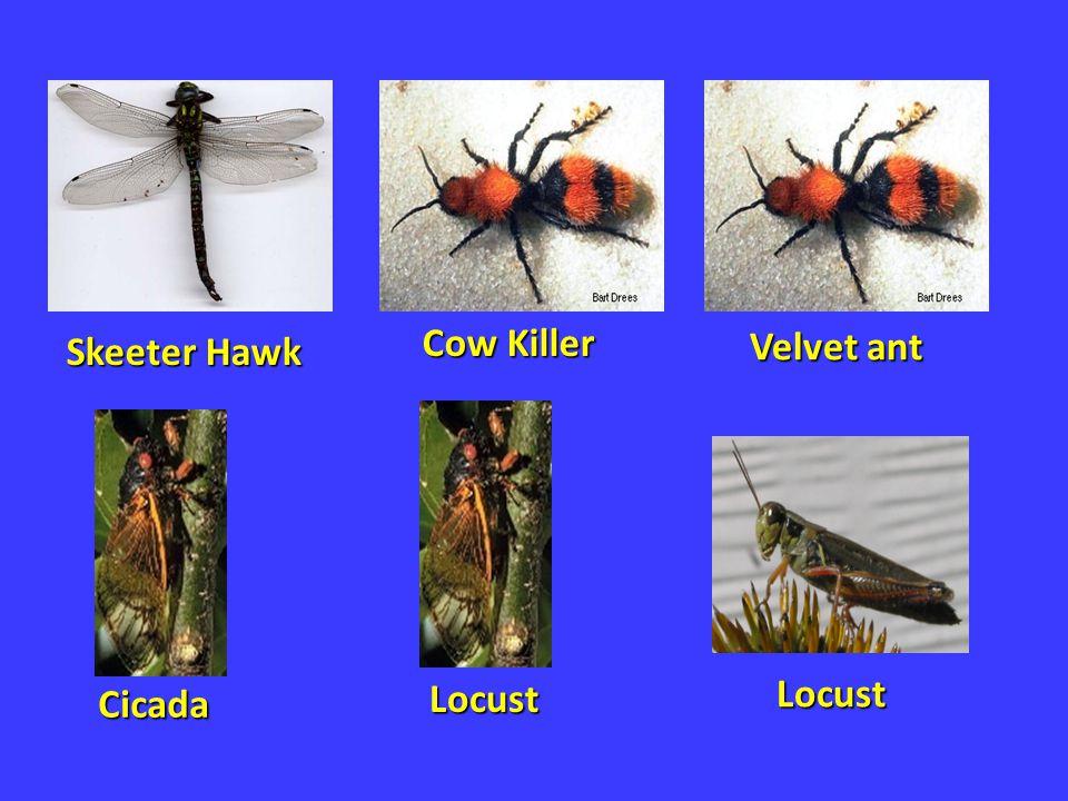 Cow Killer Skeeter Hawk Velvet ant Locust Locust Cicada