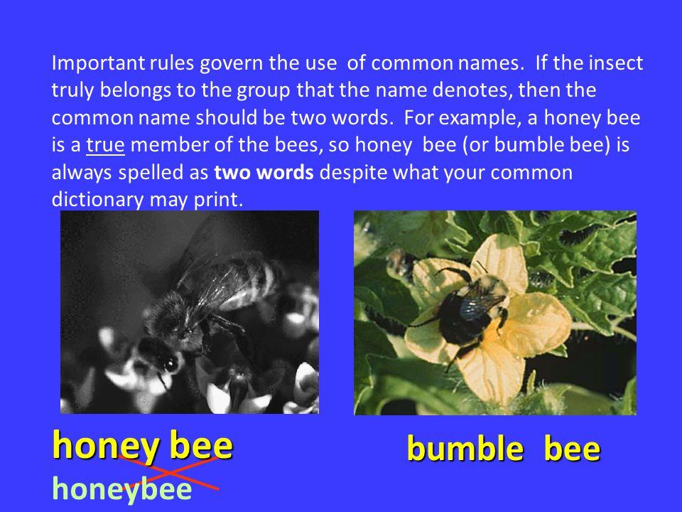honey bee bumble bee honeybee