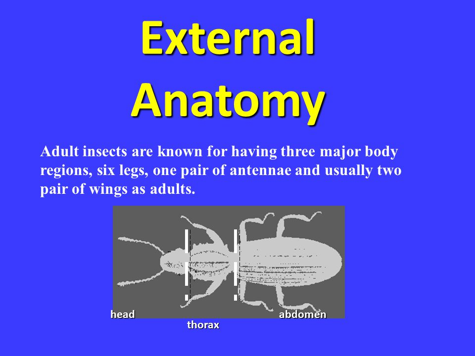 External Anatomy Adult insects are known for having three major body regions, six legs, one pair of antennae and usually two pair of wings as adults.