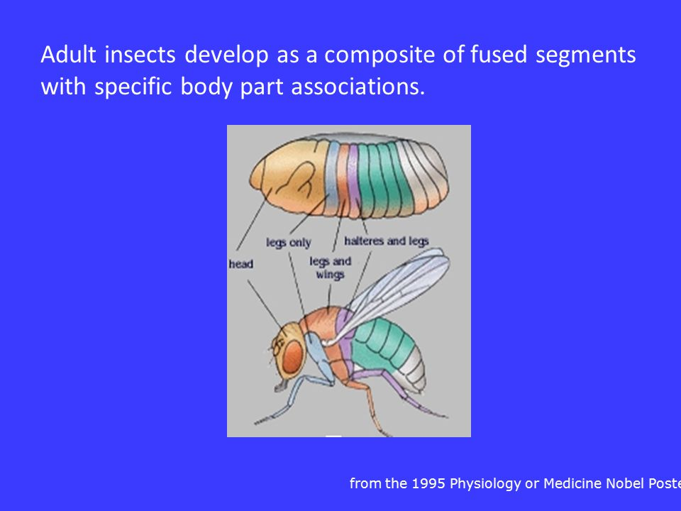 Adult insects develop as a composite of fused segments