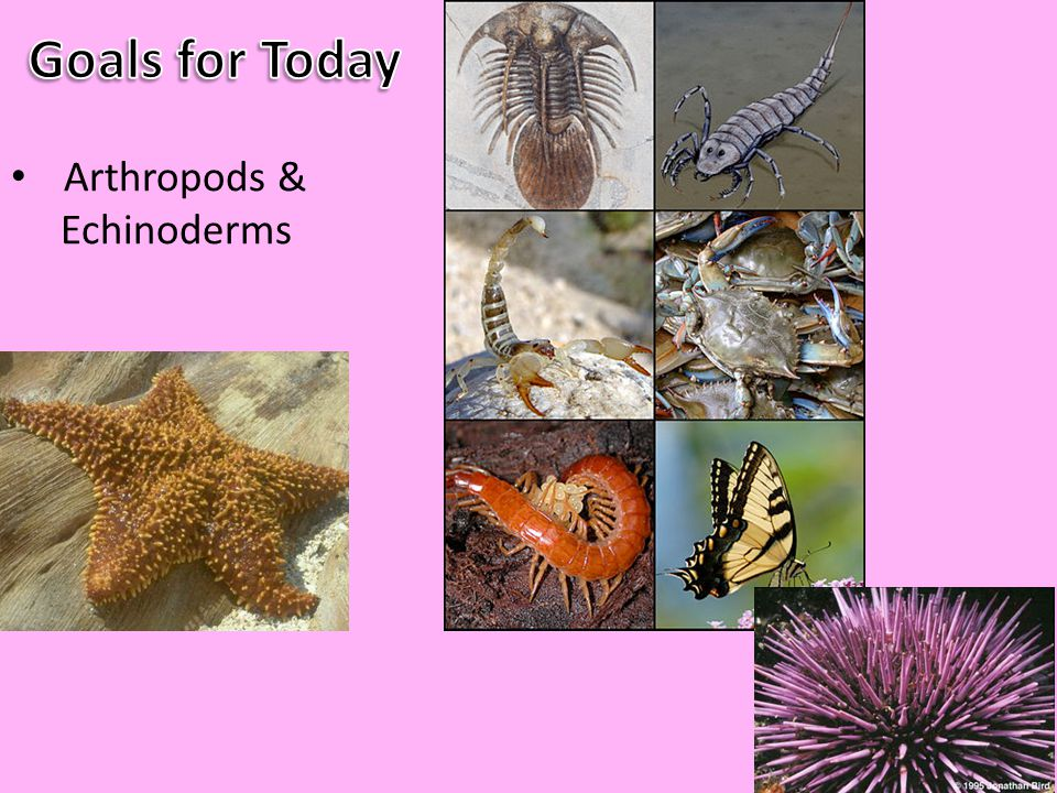 Goals for Today Arthropods & Echinoderms