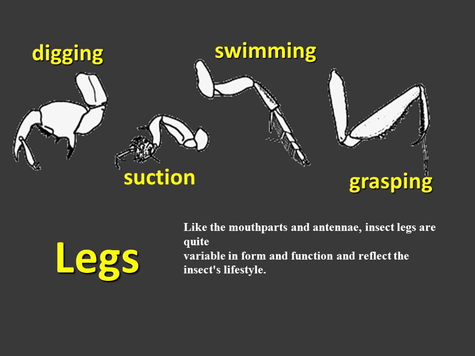 Legs swimming digging suction grasping