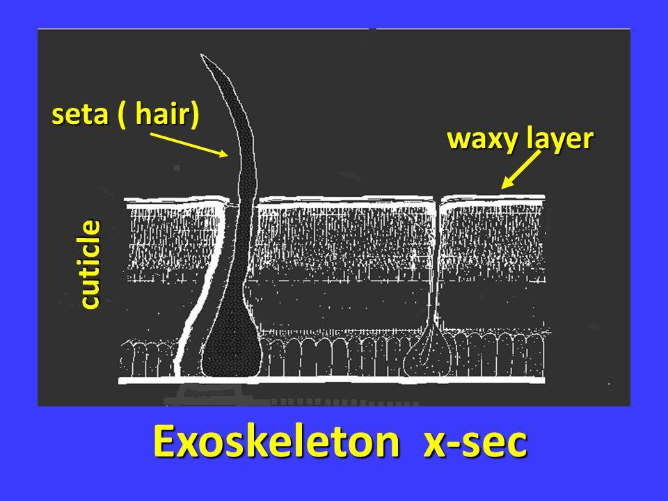seta ( hair) waxy layer cuticle Exoskeleton x-sec