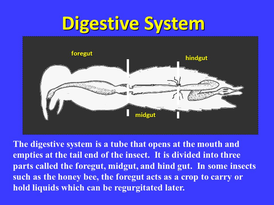 Digestive System foregut. hindgut. Digestive sys. midgut.