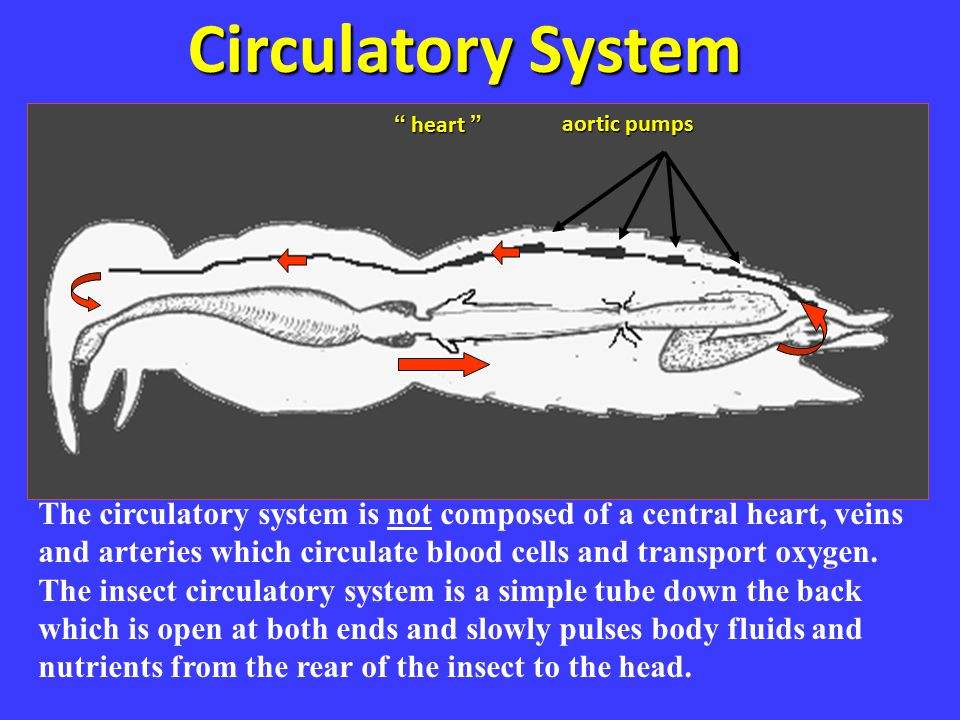 Circulatory System heart aortic pumps. Circ system.