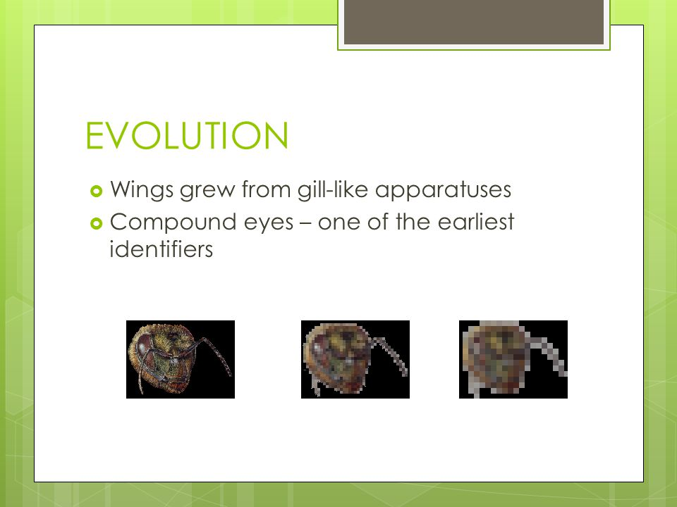 EVOLUTION Wings grew from gill-like apparatuses