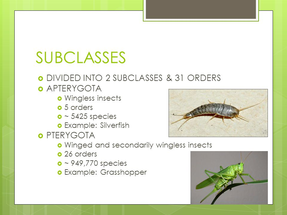 SUBCLASSES DIVIDED INTO 2 SUBCLASSES & 31 ORDERS APTERYGOTA PTERYGOTA